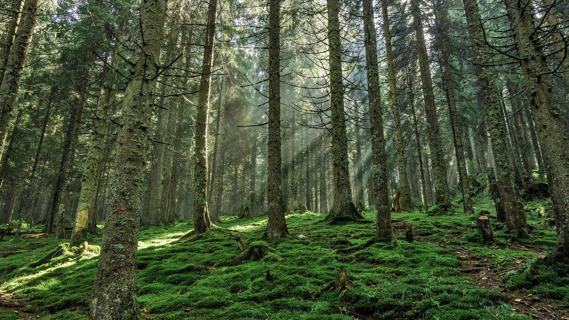 Kaminholz Breuer | Nachhaltigkeit durch Aufforstung | Kiefernwald